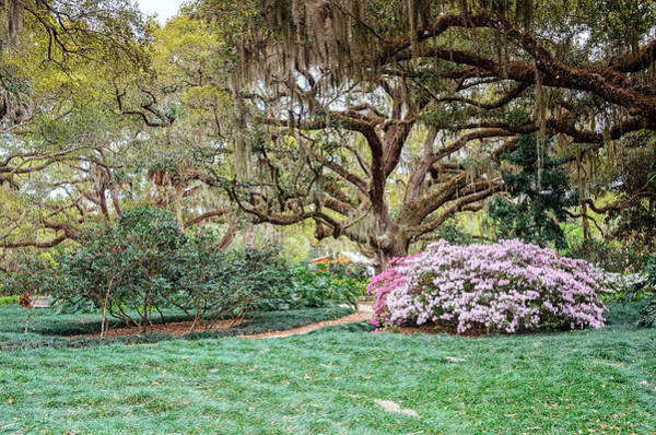 Photograph - Spring Azaleas In Florida by Claire Turner