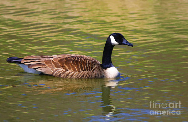 Photograph - Spring Time Goose by Deborah Benoit