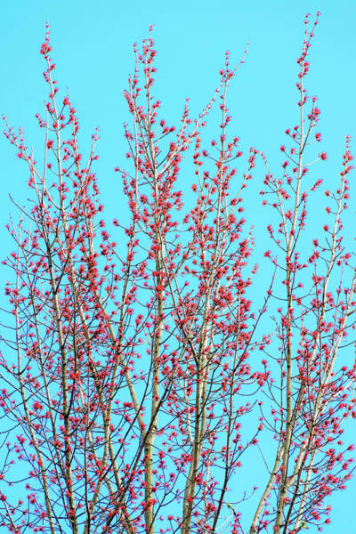 Photograph - Spring Trees by Christina Rollo