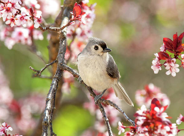 Photograph - Spring Tufted Titmouse 2018 by Lara Ellis