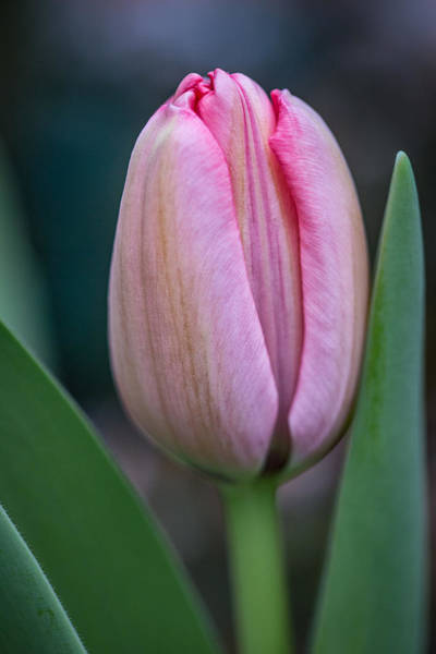 Photograph - Spring Tulip by Dale Kincaid