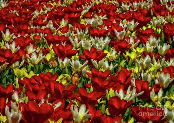 Photograph - Spring Tulip Flowers by Martyn Arnold