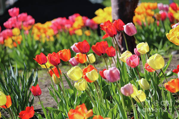 Photograph - Spring Tulip Garden by Carol Groenen