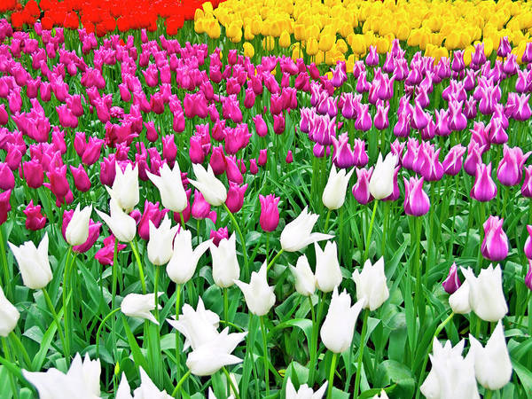 Summertime Digital Art - Spring Tulips Flower Field II by Artecco Fine Art Photography