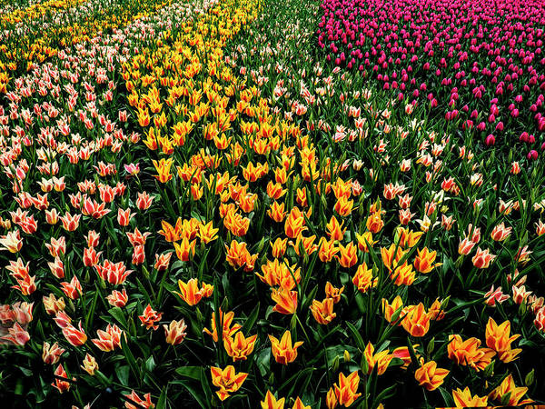 Photograph - Spring Tulips by Paul Wear