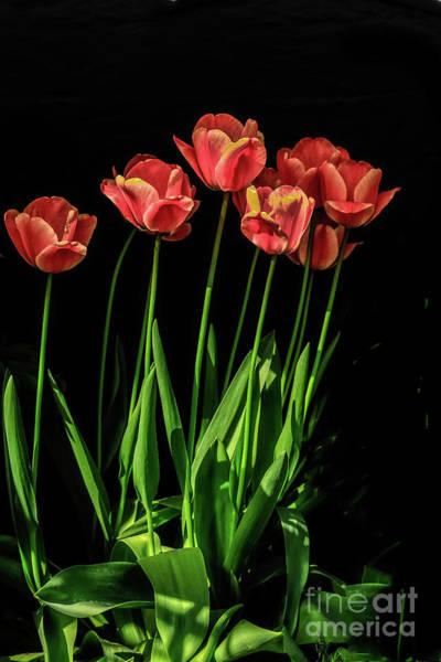 Wall Art - Photograph - Spring Tulips by Robert Bales
