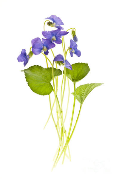Cut Flowers Wall Art - Photograph - Spring Violets On White by Elena Elisseeva