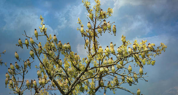 Photograph - Spring Waxwing Flock by Jai Johnson