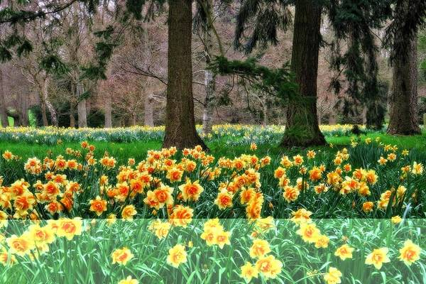 Photograph - Spring Woodland Daffodils by Martyn Arnold