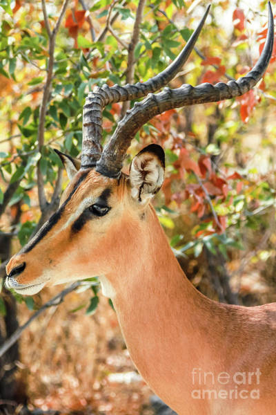 Wall Art - Photograph - Springbok Portrait Namibia by Benny Marty