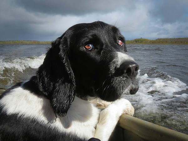 Photograph - Springer Spaniel by Patti Deters