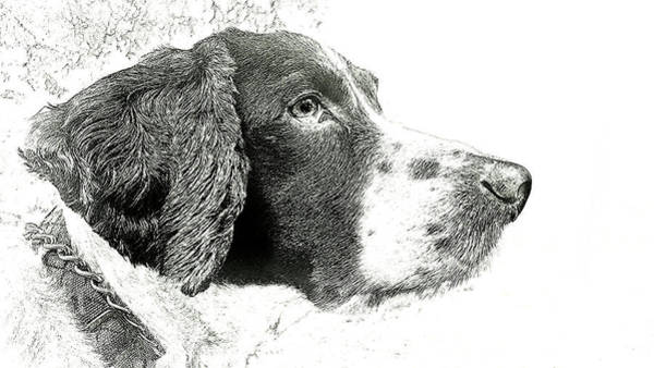 Photograph - Springer Spaniel by Phil Koch