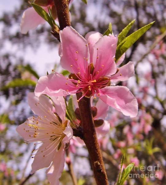 Photograph - Springtime Peach Blossom by D Hackett