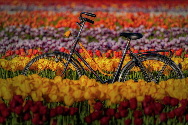 Wall Art - Photograph - Springtime Tulips And Bike by Susan Candelario