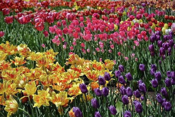 Photograph - Springtime Tulips by Jesse MacDonald