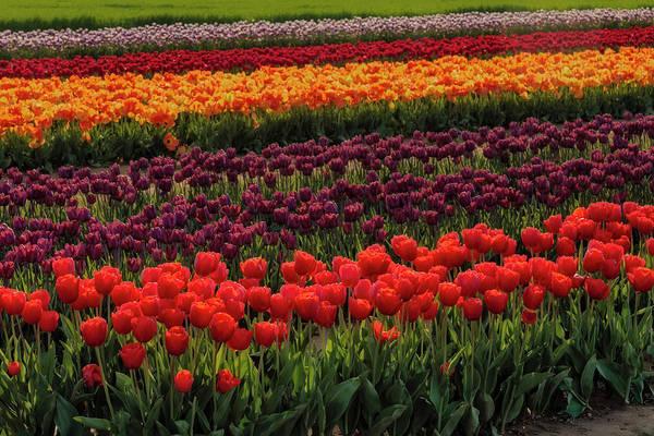 Photograph - Springtime Tulips by Susan Candelario