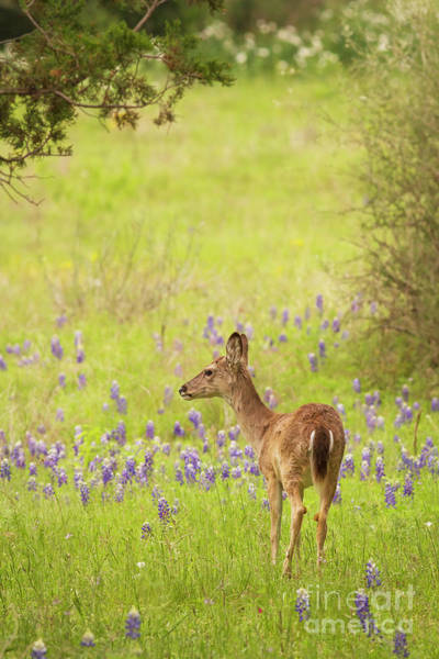 Photograph - Springtime Whitetail by David Cutts