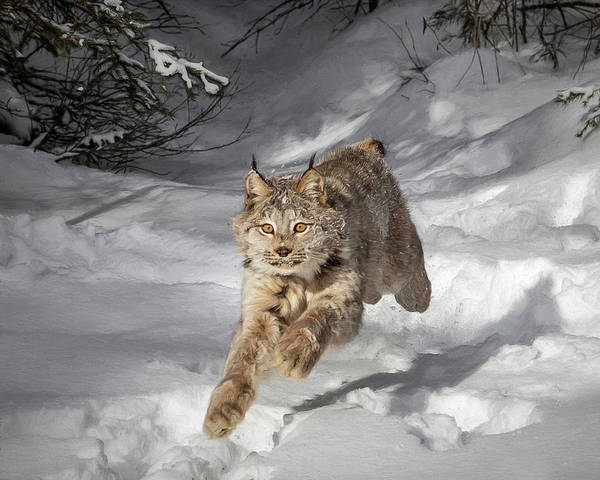 Photograph - Sprinting Lynx by Wes and Dotty Weber