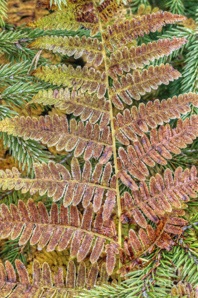 Fern Frost Photograph - Sprout Of The Fern by Michal Boubin