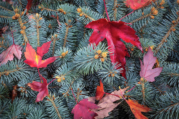 Photograph - Spruce And Maple by Mark Mille