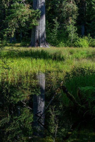 Photograph - Spruce Reflection by Robert Potts