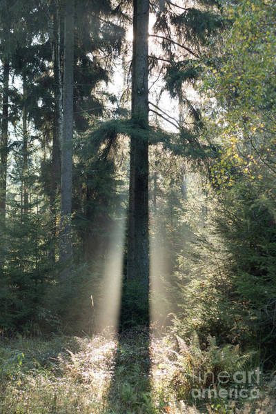 Woodland Wall Art - Photograph - Spruce Tree In Morning Backlight by Michal Boubin