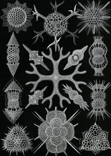 Black And White Nature Drawing - Spumellaria by Ernst Haeckel