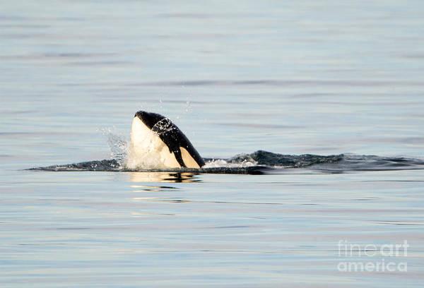 Killer Whales Wall Art - Photograph - Spy Hop Splash by Mike Dawson
