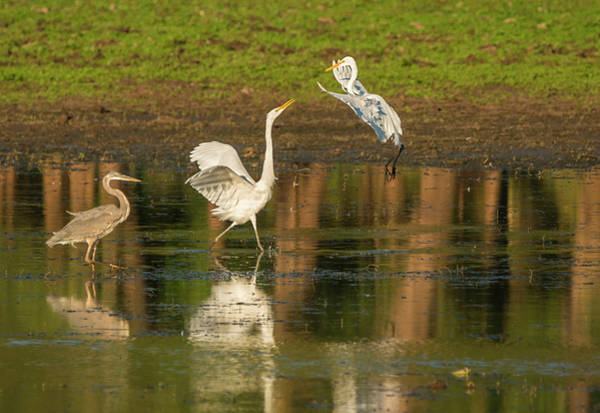 Photograph - Squabble At The Pond by Loree Johnson