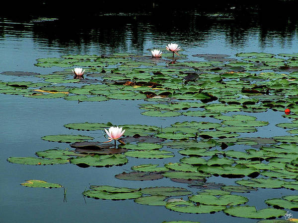 Photograph - Squam Lilies  by Wayne King