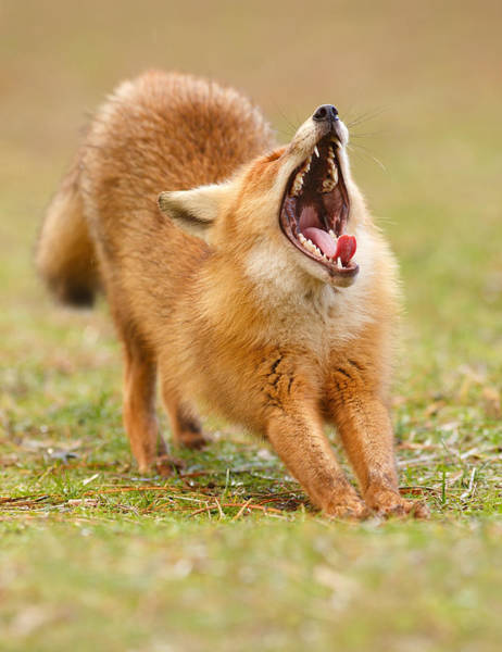 Yawn Photograph - Squealing Brakes - Yawning Red Fox by Roeselien Raimond