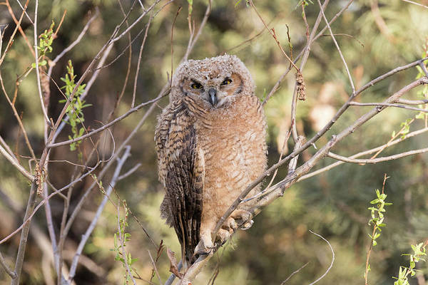 Photograph - Squinting Great Horned Owl Owlet by Tony Hake