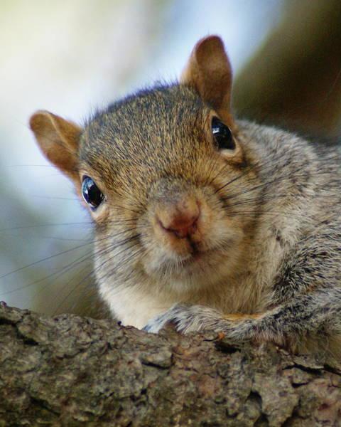 Photograph - Squirrel #1 by Ben Upham III