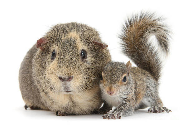 Grey Squirrel Photograph - Squirrel And Guinea by Warren Photographic