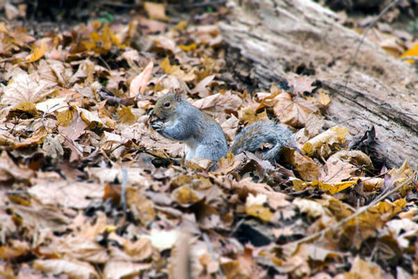 Photograph - Squirrel And Nut by SR Green