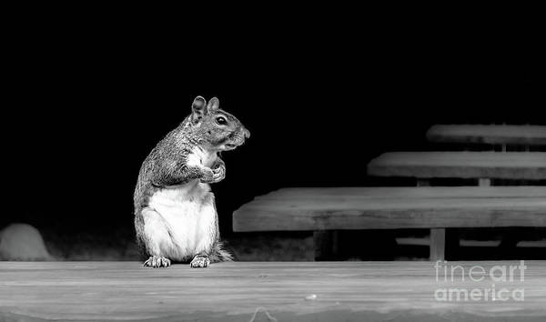 Photograph - Squirrel Black White by Andrea Anderegg