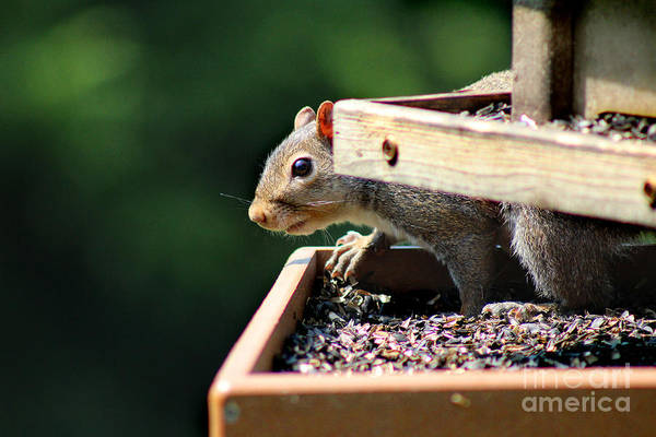 Photograph - Squirrel Caught In The Act by Karen Adams