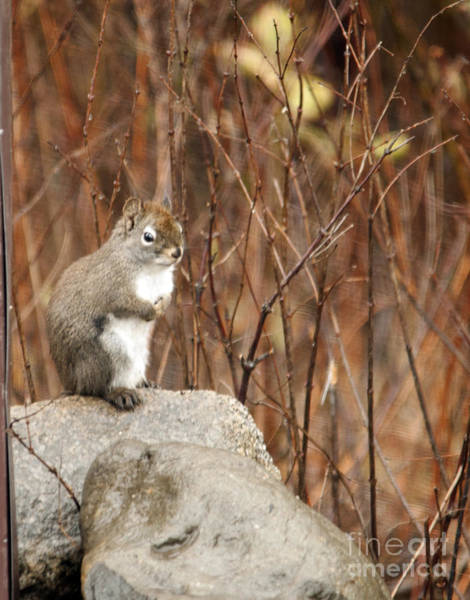 Photograph - Squirrel by Cindy Murphy - NightVisions