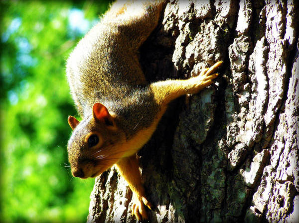 Photograph - Squirrel Contact by Susie Weaver