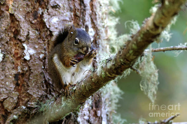Photograph - Red Squirrel Eating A Nut by Sue Harper