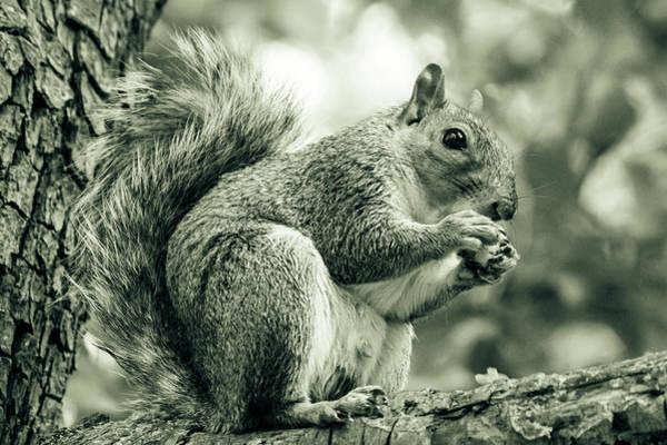 Photograph - Squirrel Eating On A Branch B by Jacek Wojnarowski