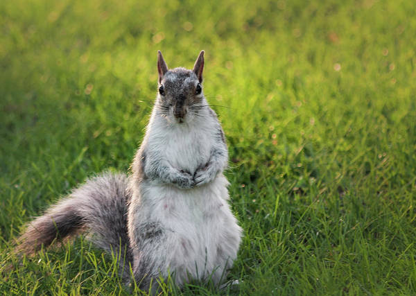 Photograph - Squirrel Female Standing Up by Cristina Stefan
