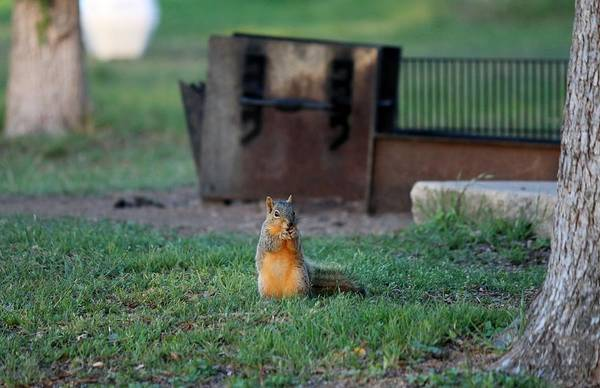 Photograph - Squirrel In Campsite   by Christy Pooschke