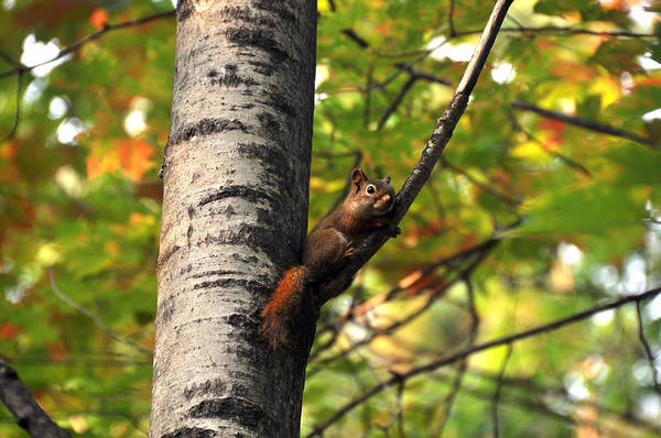 Wall Art - Photograph - Squirrel In Fall by John Ricker