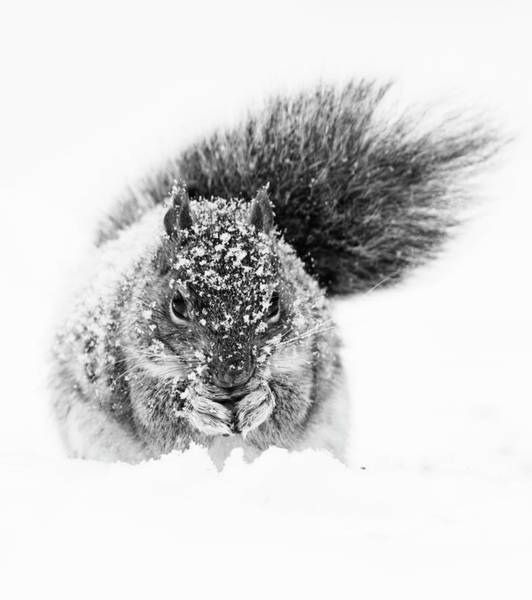 Wall Art - Photograph - Squirrel In Snow Storm by Mircea Costina Photography