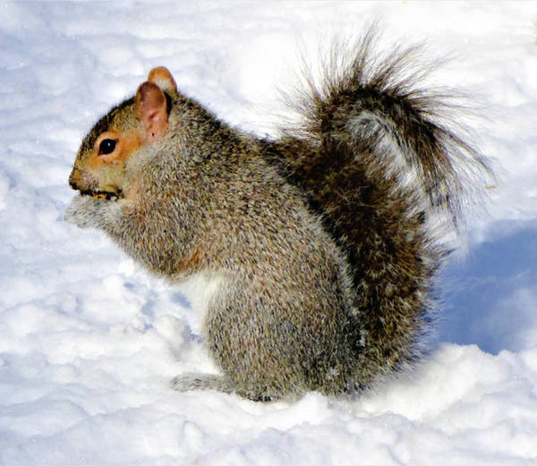 Photograph - Squirrel In Winter by Cristina Stefan