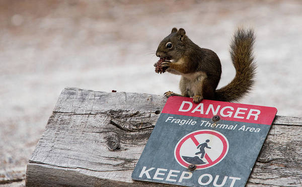 Photograph - Squirrel Laughs At Danger by Jennifer Ancker