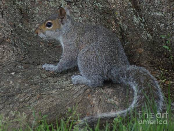 Photograph - Squirrel by Lita Kelley