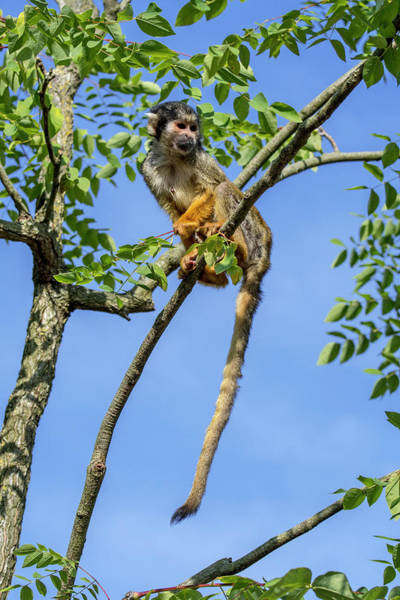 Photograph - Squirrel Monkey In Tree by Arterra Picture Library