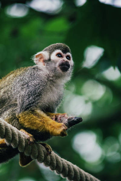 Squirrel Monkey Wall Art - Photograph - Squirrel Monkey Looking Up by Pati Photography